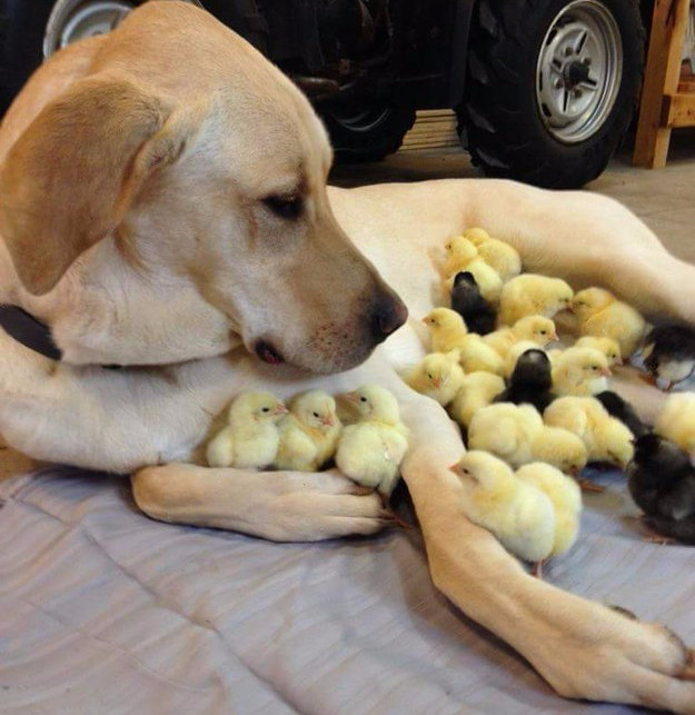 The dog who couldn't decide which chick to boop first