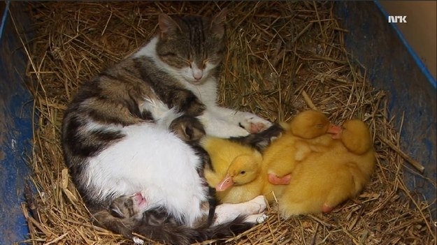 This cat adopted some ducklings